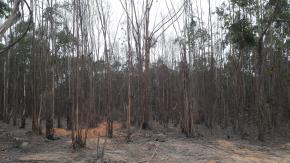 Floresta de Eucaliptos Para Lenha Aprox. 7000M Estéreo